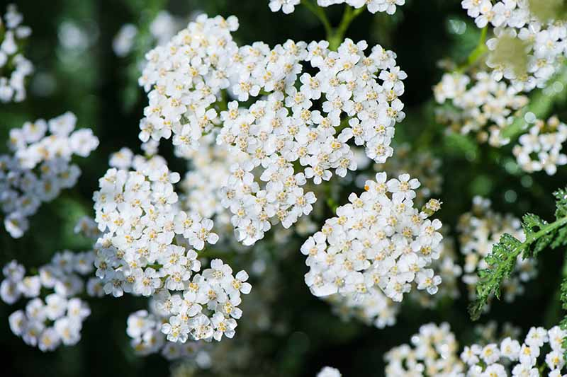 A close up of the white flowers of the common yarrow growing in the garden on a soft focus background.