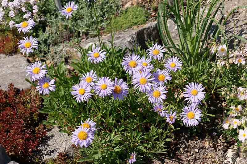 A close up of a small perennial aster plant flowering in the garden, with purple flowers, pictured in bright sunshine.