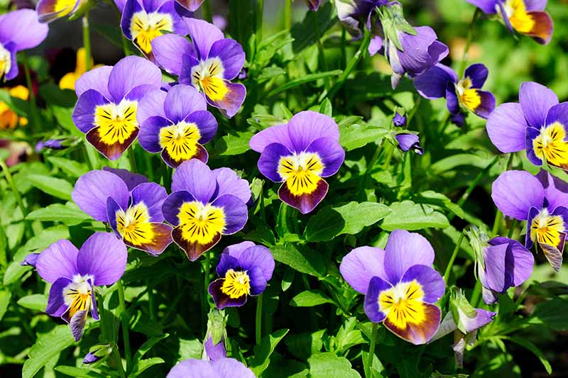 A close up of colorful pansies growing in the garden surrounded by green foliage pictured in bright sunshine.