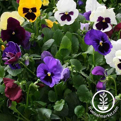 A close up of the flowers of the Colossus pansy series growing in the garden surrounded by green foliage.