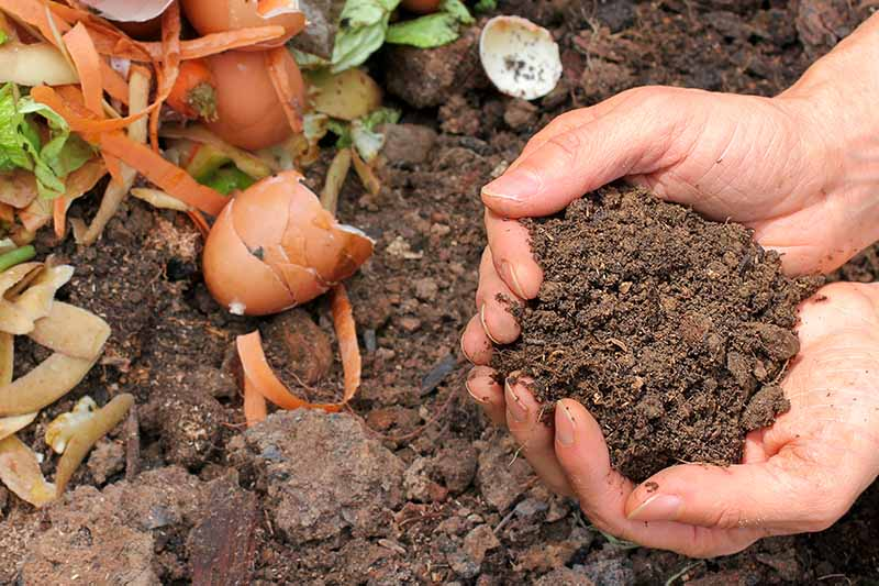 A close up of two hands from the right of the frame, cupping garden soil from a compost pile, to the left of the frame is eggshells and vegetable scraps.