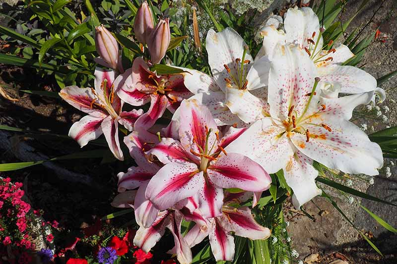 A close up top down picture of lily flowers growing in a container in the garden. To the left of the frame the flowers are bi-colored light and dark pink, to the right are white flowers with light pink spots.