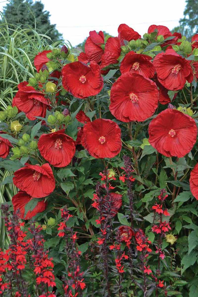 A close up vertical picture of the 'Cranberry Crush' hibiscus growing in the garden with dark green foliage and bright red flowers.