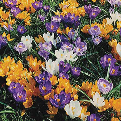 A close up of purple, orange, and white crocuses growing in the spring garden.