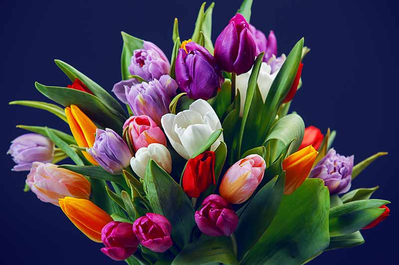 A cut flower bouquet of different colored tulips in pinks, purples, whites, oranges, and reds, pictured on a dark background.