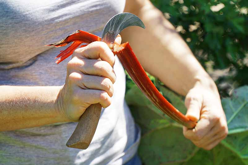 A close up of a hand from the left of the frame cutting the end off a freshly harvested bright red rhubarb stalk in light sunshine, on a soft focus background.