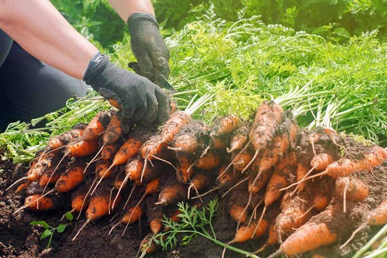 A close up of hands from the right of the frame holding a knife and cutting the tops off from freshly harvested carrots, with soil still attached to the roots, in bright sunshine fading to soft focus in the background.