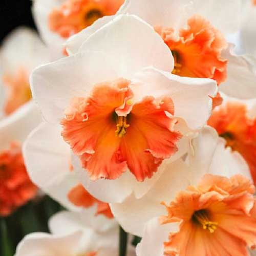 A close up of white and orange daffodil flowers on a soft focus background.