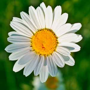 Close up photo of an English daisy flower head in bloom.