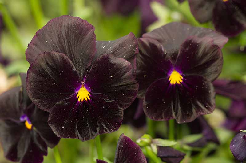 A close up of a 'Halloween' variety of pansy growing in the garden on a soft focus background.