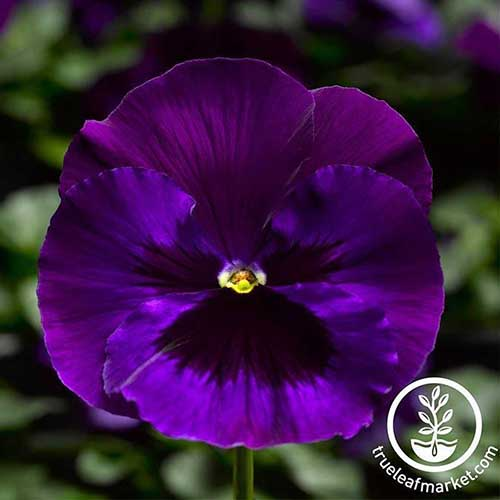 A close up of a bright purple flower with a dark center on a soft focus background. To the bottom right of the frame is a circular logo and white text.