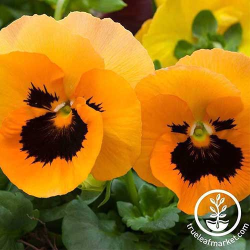 A close up of bright orange pansies with green foliage in the background. To the bottom right of the frame is a circular logo and white text.