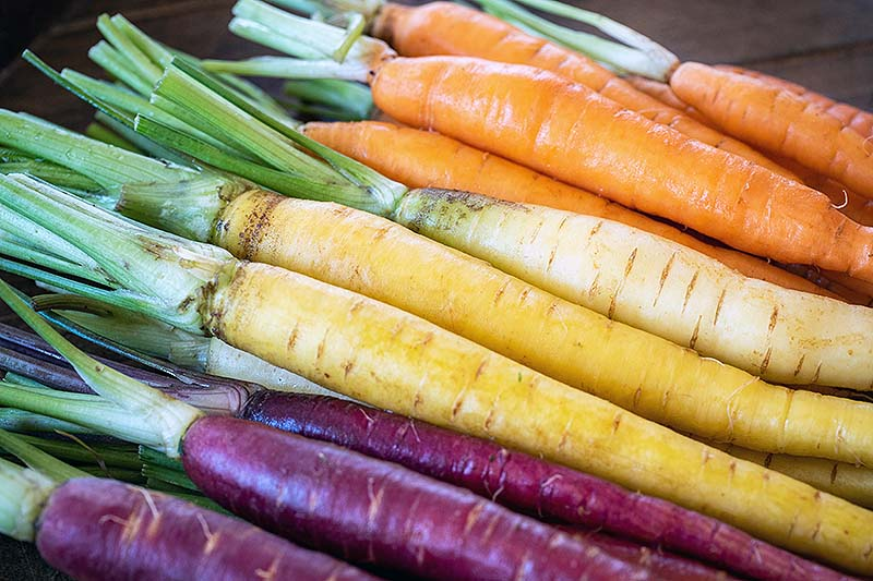 A close up of different colored carrot varieties, purple, yellow, and orange set on a wooden surface with the foliage removed and the soil washed off them.