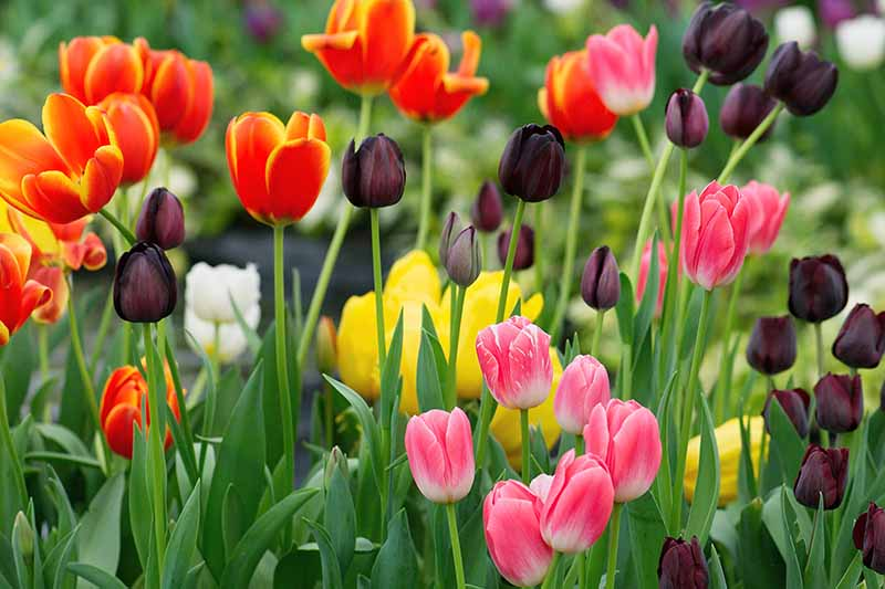 A close up of various different colored tulips, some are dark purple, others red and yellow bicolored, and some pink, the colors contrasting with the light green foliage on a soft focus background.
