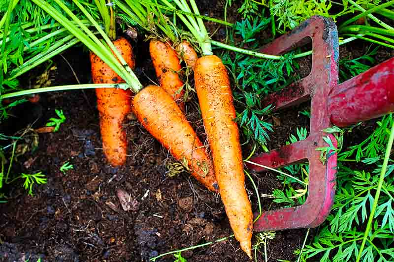A close up of a red garden fork pushed into soil, digging up root vegetables.