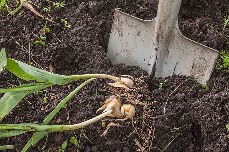 A spade to the right of the frame is shown digging into soft rich soil to remove spent bulbs after flowering in the late spring garden.