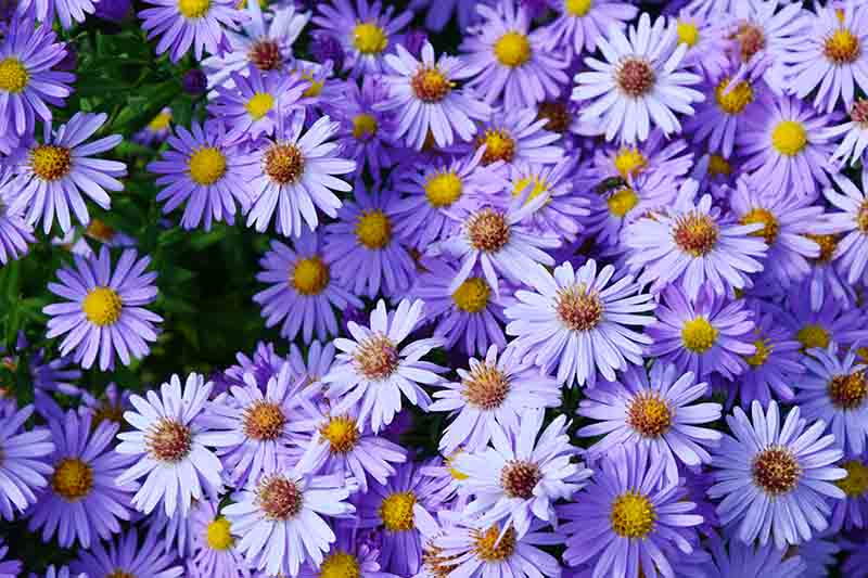 A close up of the bright purple flowers of the perennial aster plant, growing in the garden in light sunshine.