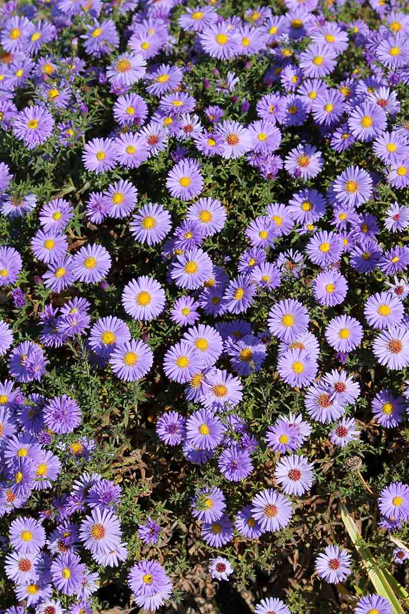 A close up vertical picture of the purple flowers of the perennial aster plant, growing in the garden in bright sunshine.