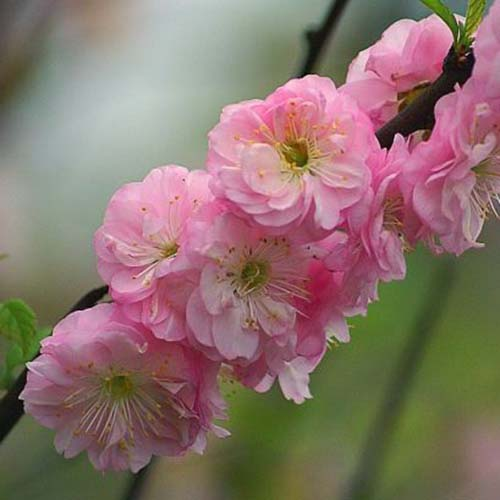 A close up of the pink flowers of the dwarf flowering almond shrub, on a soft focus background.