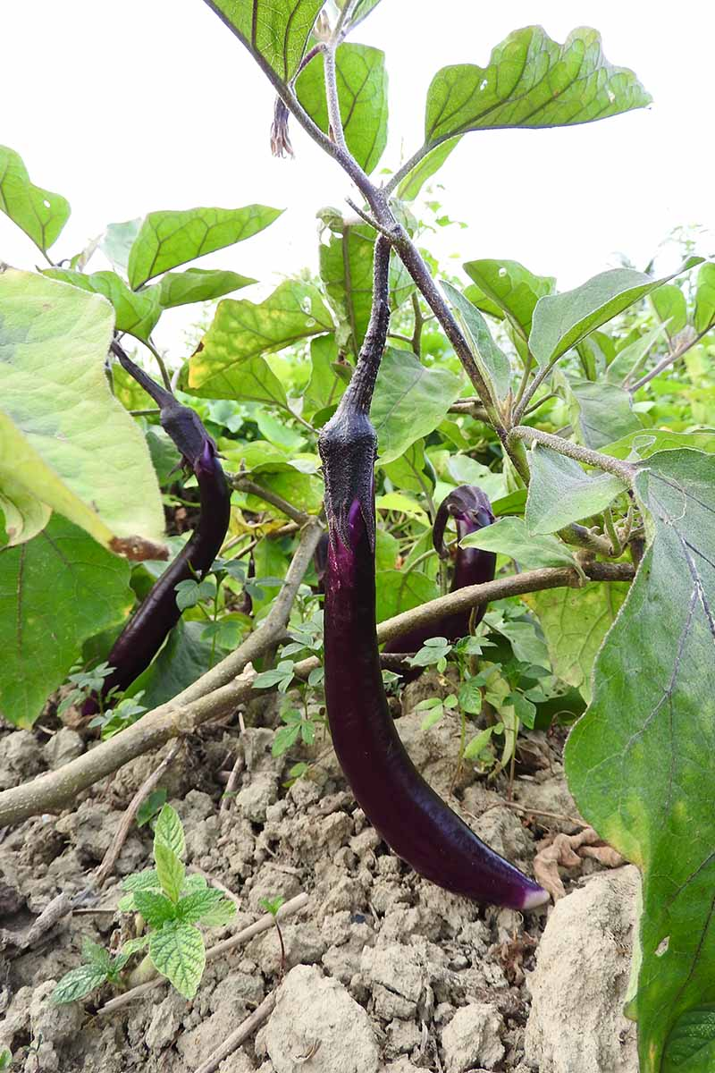 A close up vertical picture of an eggplant growing in the garden with ripe, dark purple fruit hanging from the branches, surrounded by light green foliage.