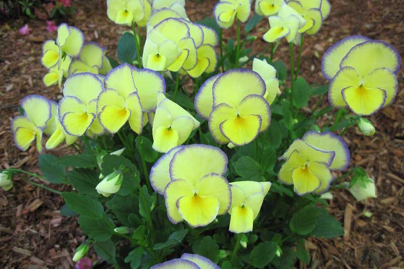 A close up of a clump of 'Etain' violas growing in the garden with characteristic yellow flowers with purple edging.