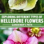 A collage of photos showing different types and colors of hellebore flowers.