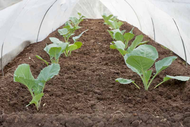 A floating row cover protects cabbage seedlings from pests. Photo is shot from inside the row cover pointing down the length of the row.