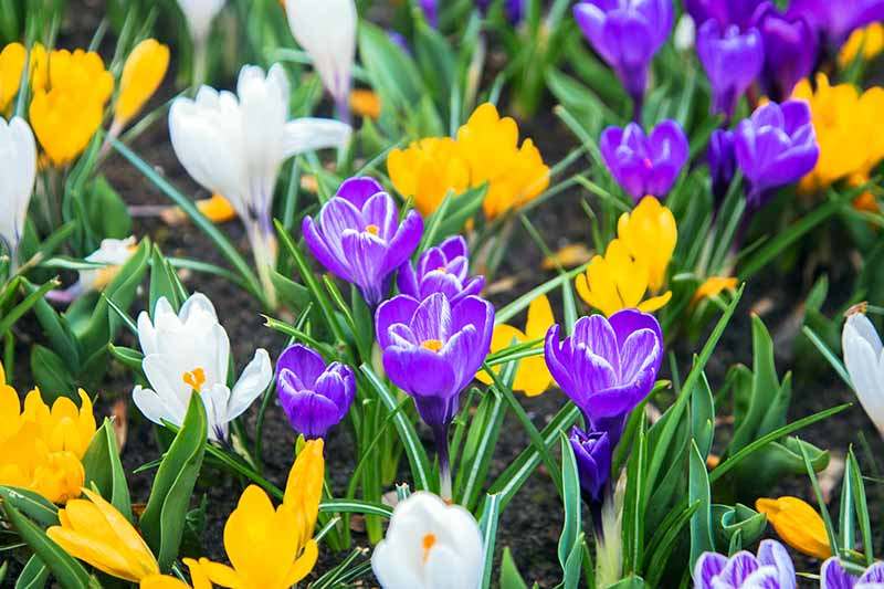 A close up of purple, yellow, and white crocuses flowering in the spring garden.