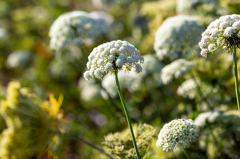 A close up of the white flowering umbels of Queen Anne's Lace growing in the garden in light sunshine on a soft focus background.