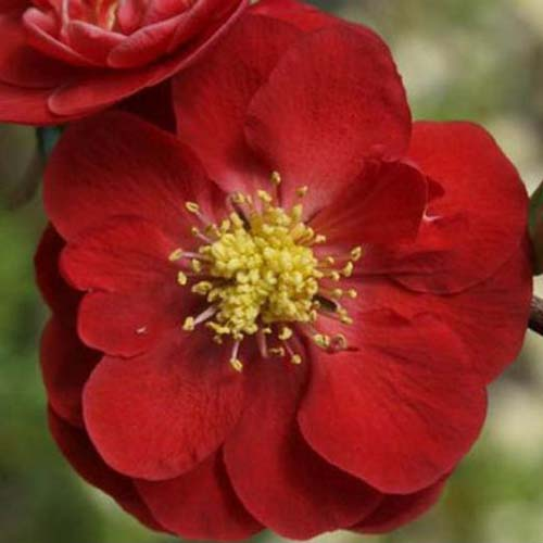 A close up of a bright red flower with a yellow center of the flowering quince plant, on a soft focus background.
