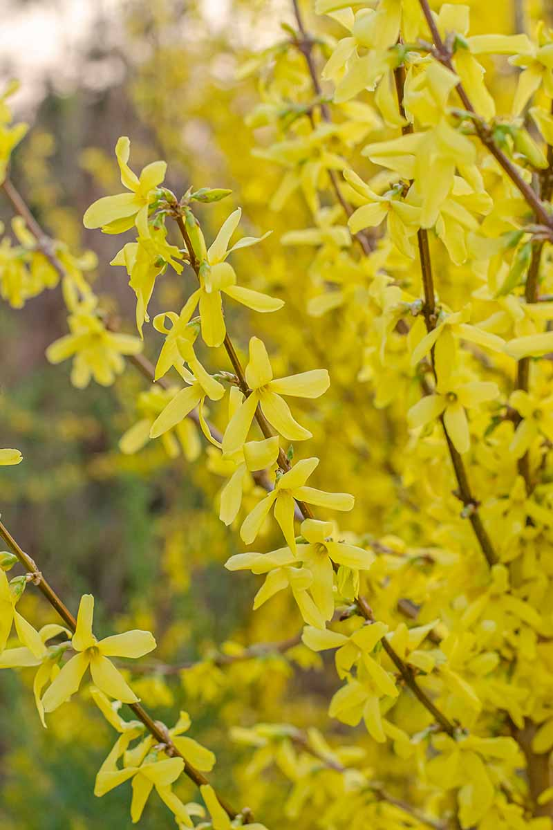 A close up vertical picture of the yellow flowers of forsythia on a soft focus background.