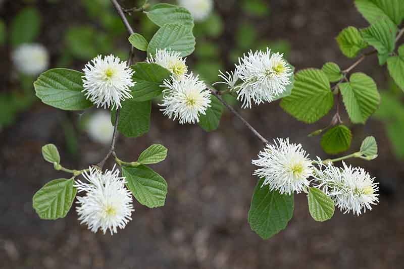 A close up of small white fothergilla flowers and delicate green leaves on a soft focus background.