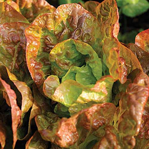 A close up of the 'Four Seasons' variety of lettuce growing in the garden, with light green and reddish leaves, in bright sunshine on a soft focus background.