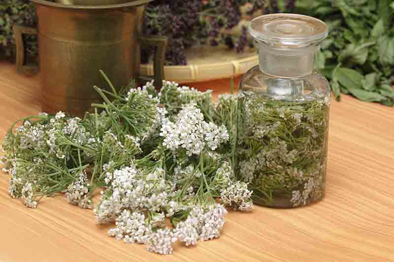A close up of freshly harvested Achillea millefolium flowers and leaves set on a wooden surface with a small glass jar to the right. In the background is a variety of other herbs.