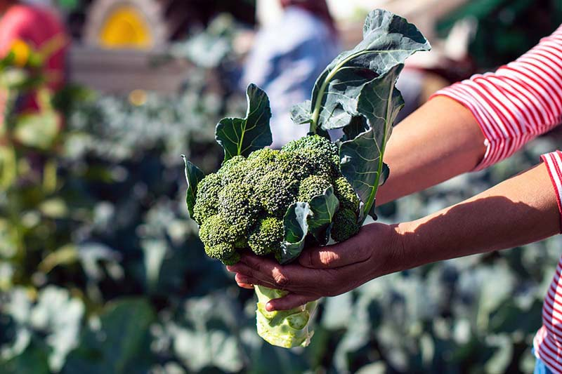 A close up of a pair of hands from the right of the frame holding a freshly harvested broccoli head with a garden scene in soft focus in the background.