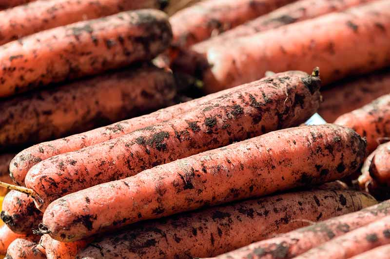 A close up of carrots freshly harvested with soil still on the roots set out in a market stall.