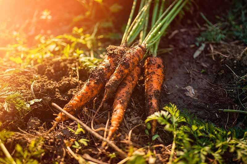 A close up of freshly harvested carrots with soil still on the roots, set on the ground in the garden in light filtered sunshine.