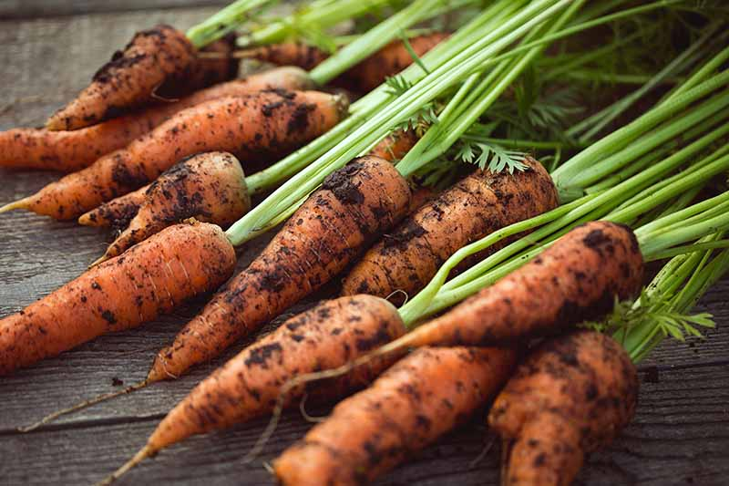 A close up of freshly harvested carrots with soil on the roots and the tops still attached set on a wooden surface.