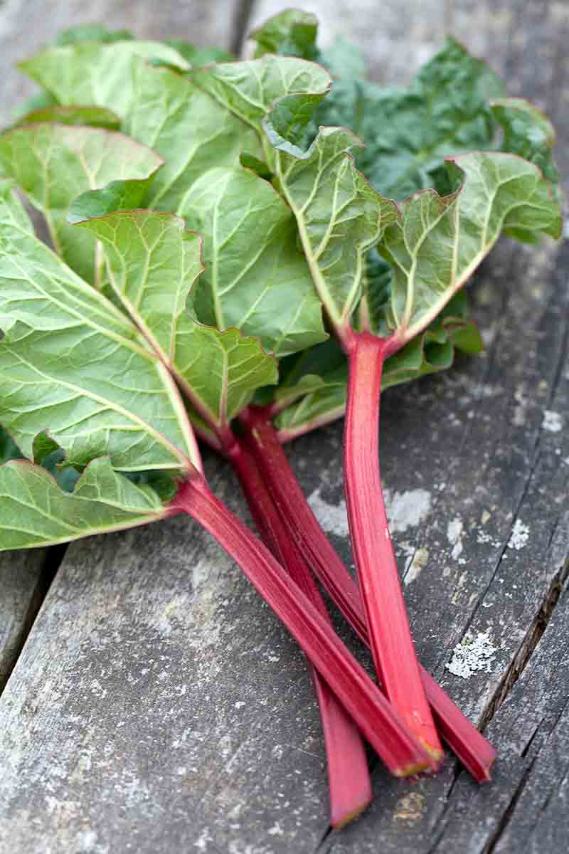 A vertical picture of freshly harvested Rheum rhabarbarum stalks, the stems are bright red and the leafy green foliage still attached, set on a rustic wooden surface.