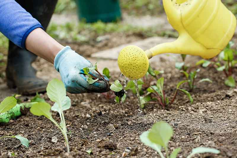 A close up of a gardener's hand from the left of the frame, wearing a glove, transplanting a seedling. To the right of the frame is a watering can pouring water over the freshly planted seedlings. The background fades to soft focus.