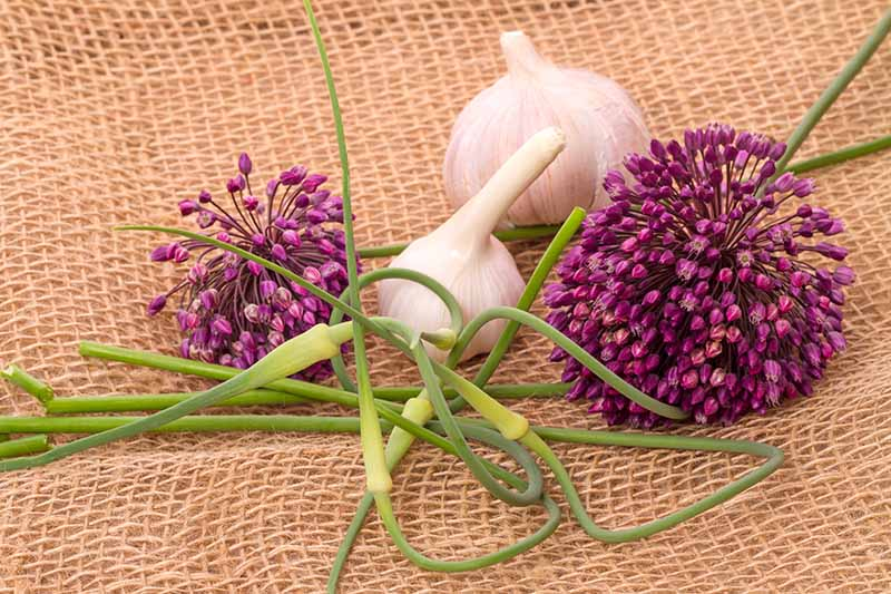 A close up of the bulbs, scapes, and purple flowers of the Allium sativum hardneck variety set on a rustic woven fabric.