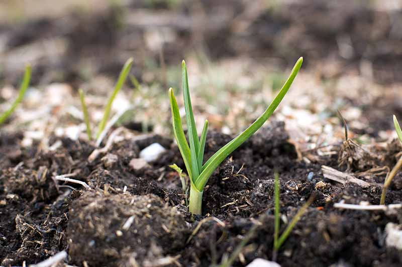A close up of young Allium sativum shoots growing in dark rich soil, on a soft focus background.