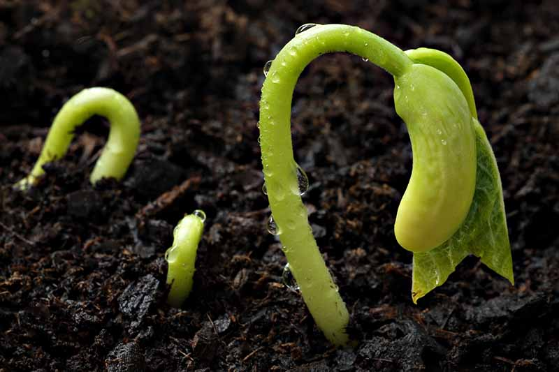 A close up of tiny seedlings just germinating through dark rich soil, with water droplets on their tiny stems.