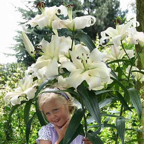 A close up of a small child underneath a tall lily stem with white flowers of the 'Giant OT Zambesi' variety, pictured in light sunshine in the garden.