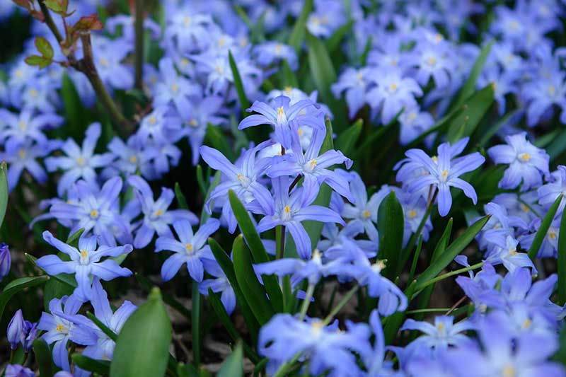 A close up of glory of the snow blue flowers, pictured in light sunshine, fading to soft focus in the background.