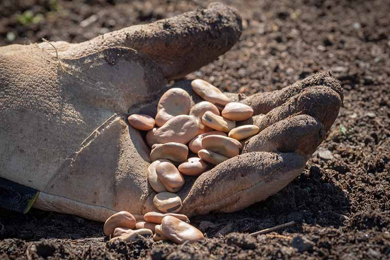 A close up picture of a gloved hand holding some large seeds, resting on dark earth in bright sunshine.