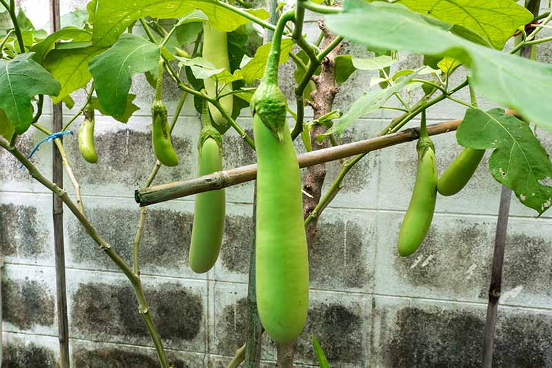A close up of small green eggplant fruits growing on the plant with a breeze block wall in the background.