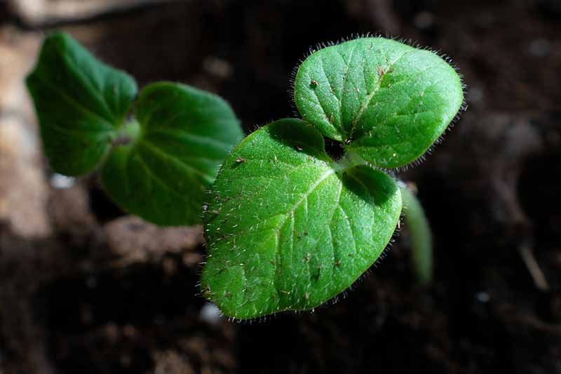 A close up of a small green seedling in a pot, with bright green leaves contrasting with the dark earth in the background.