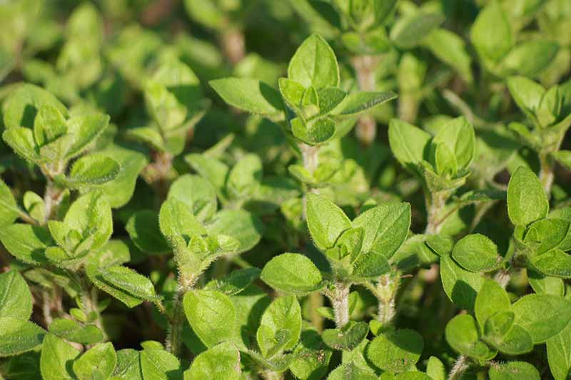 A close up of an Origanum vulgare plant growing in the garden in bright sunshine fading to soft focus in the background.