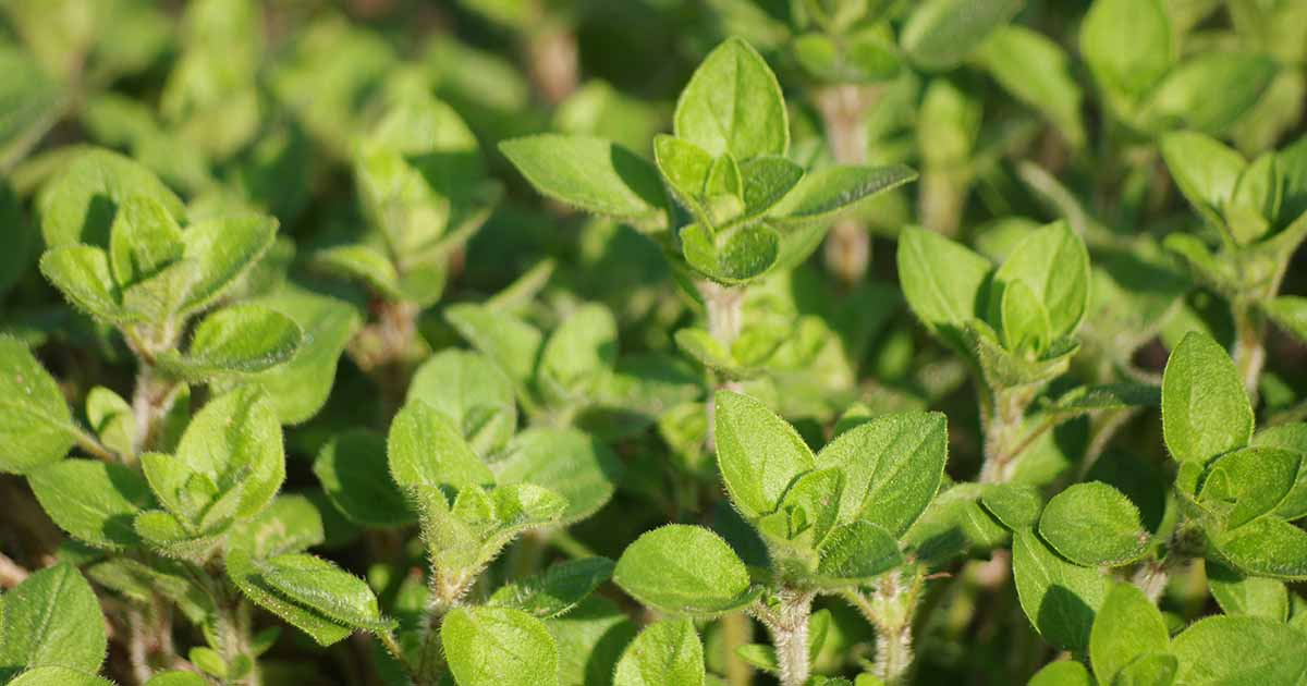 What Does When To Harvest Oregano Seeds Mean?